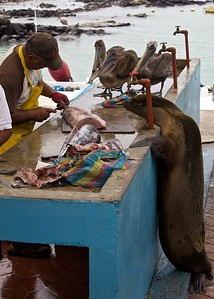 A Sea Lion and a couple of Brown Pelicans wait for a hand-out at the fish market on Santa Cruz Island in the Galapagos Islands.