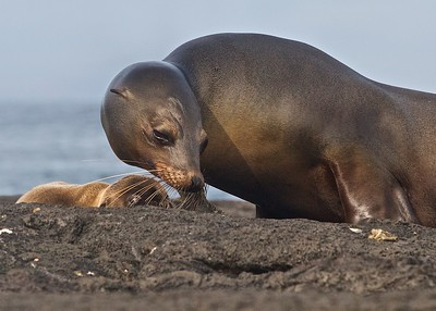A Sea Lion Pup and its Mother on Isla Isabela in the Galapagos Islands.