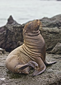 A Sea Lion Pup stretches along the Urbina Bay on Fernandina Island in the Galapagos Islands.