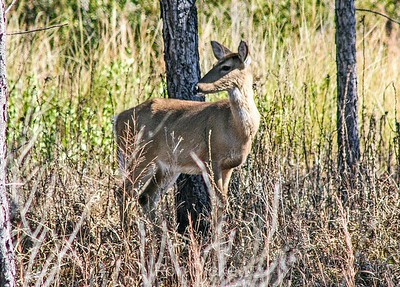 Florida White-tail Deer