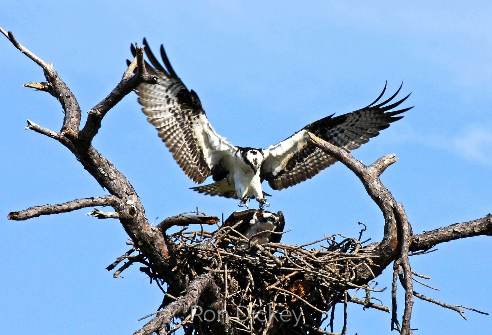 Osprey Joining Mate in Nest