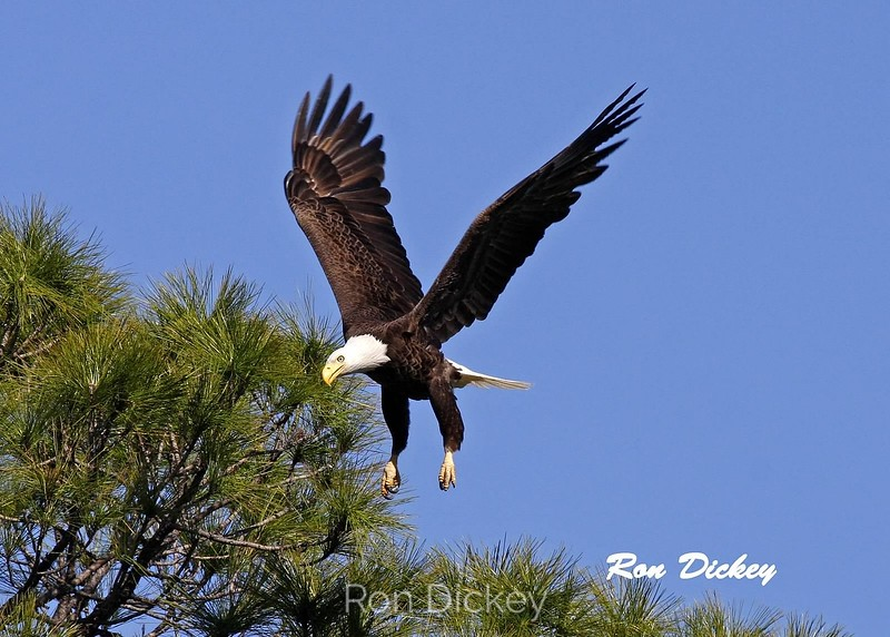 Bald Eagle Landing in Nest