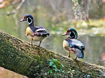 Wood Ducks on Limb