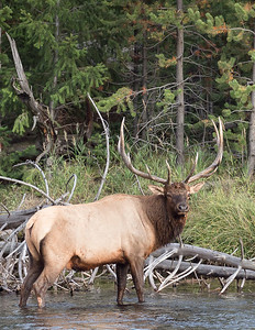 Yellowstone Bull Elk