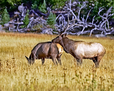 Rutting Bull Elk, Yellowstone National Park