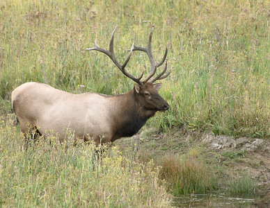Bull Elk in Yellowstone