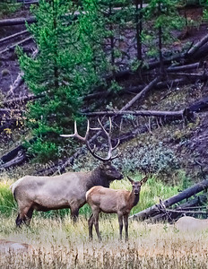 Bull Elk and Calf of the year.