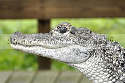 Baby Gator - 4 x 6