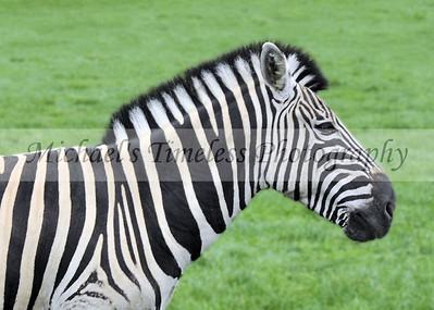 Zebra - 5 x 7