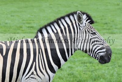 Zebra - 4 x 6