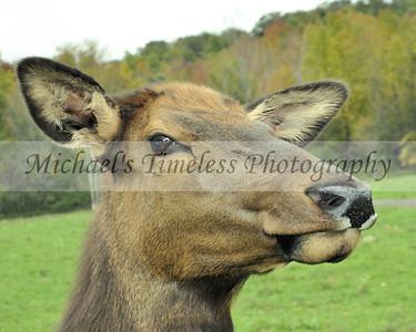 Deer - 8 x 10