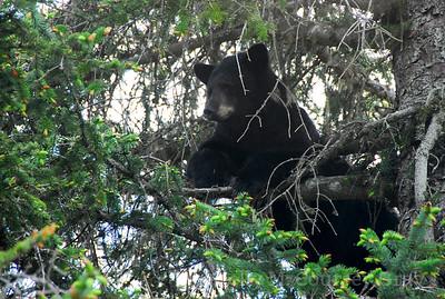 black bear up the tree taku