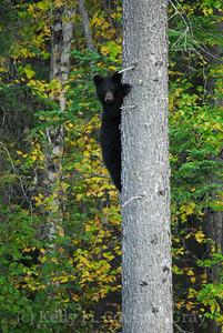 baby black bear up the tree 1