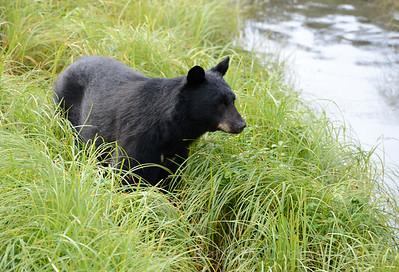 black bear ketchikan 2