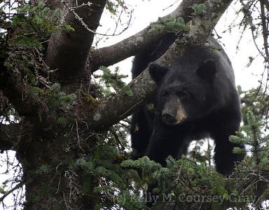 black bear taku 1