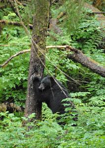 2 black bear scratches 1