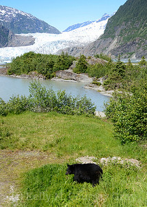 black bear with the mendenhall glacier