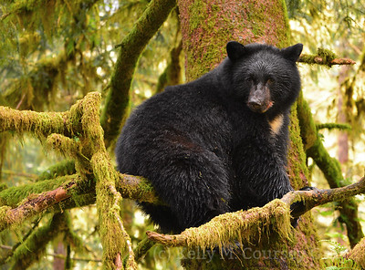 K14 black bear in a tree 1