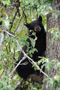 black bear in the tree 2 taku