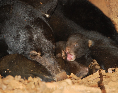 black bear in log with babies