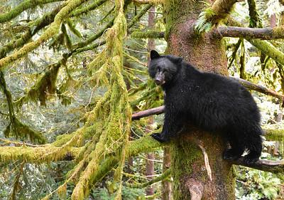 K14 black bear in a tree 3 lumos