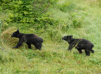 2 black bear cubs 3