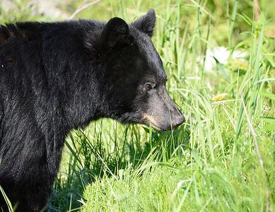black bear mendenhall
