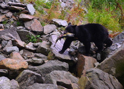 10 black bear with fish 1
