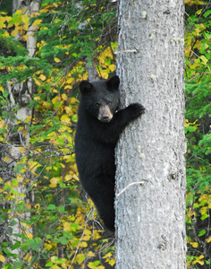 baby black bear in tree