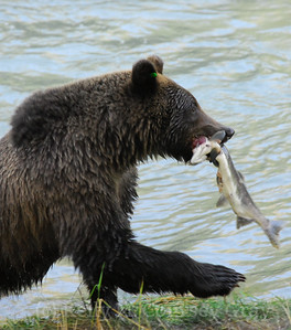 bear with a fish vertical 1