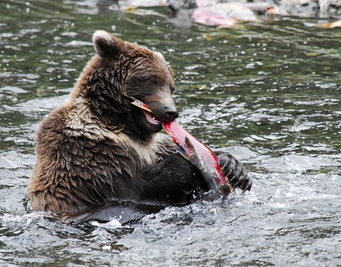 Grizzly eats fish