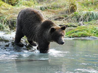 bear profile with hump