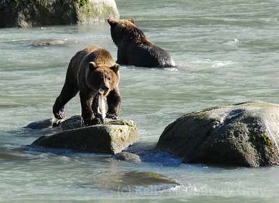 2 bears and a fish on the rock 2