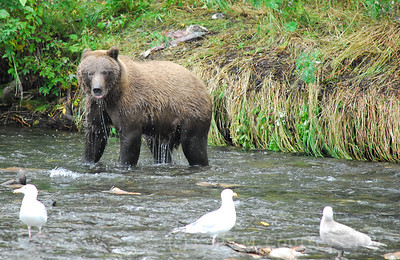 bear walking in the river with the birds