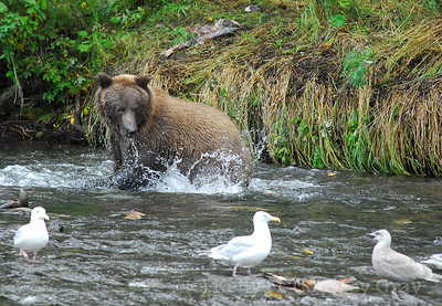 bear fishing in the river 1