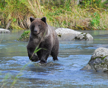 bear walks on top of rocks