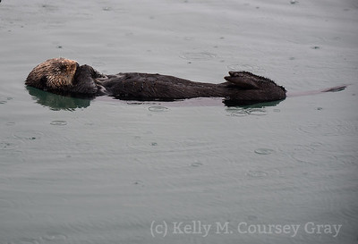 sea otter sleeping 1