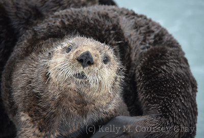 sea otter portrait 1