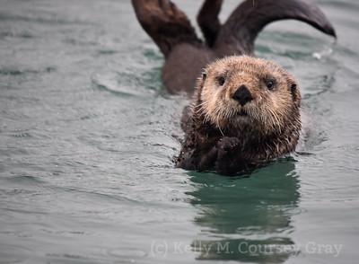sea otter 12