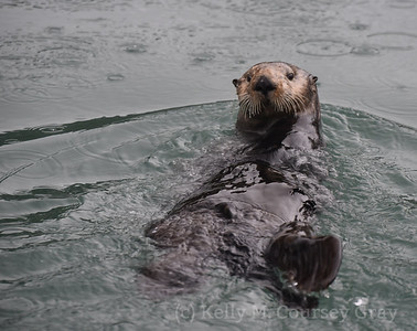 sea otter popping up with food 3