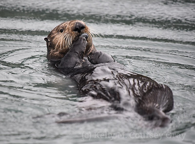 sea otter eating clam 12