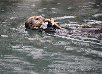 sea otter with starfish 1
