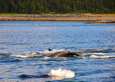 whales flukes and blowing bubbles