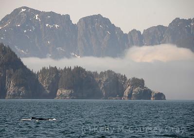 kenai fjords humpback in ak scenery 3