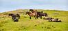 Exmoor Ponies at Traprain Law - 23 July 2016