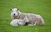 Lamb Fast Asleep at Greenock - 3 May 2019