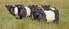 Belted Galloway Cows at Cornalees - 25 July 2018