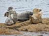 Seals Basking at Port Gordon - 9 May 2018