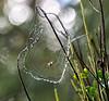 Spider and Web near Leuchars - 18 September 2018