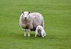 Lamb at Greenock - 3 May 2019